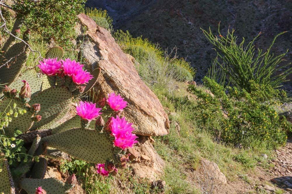 desert bloom california 2020