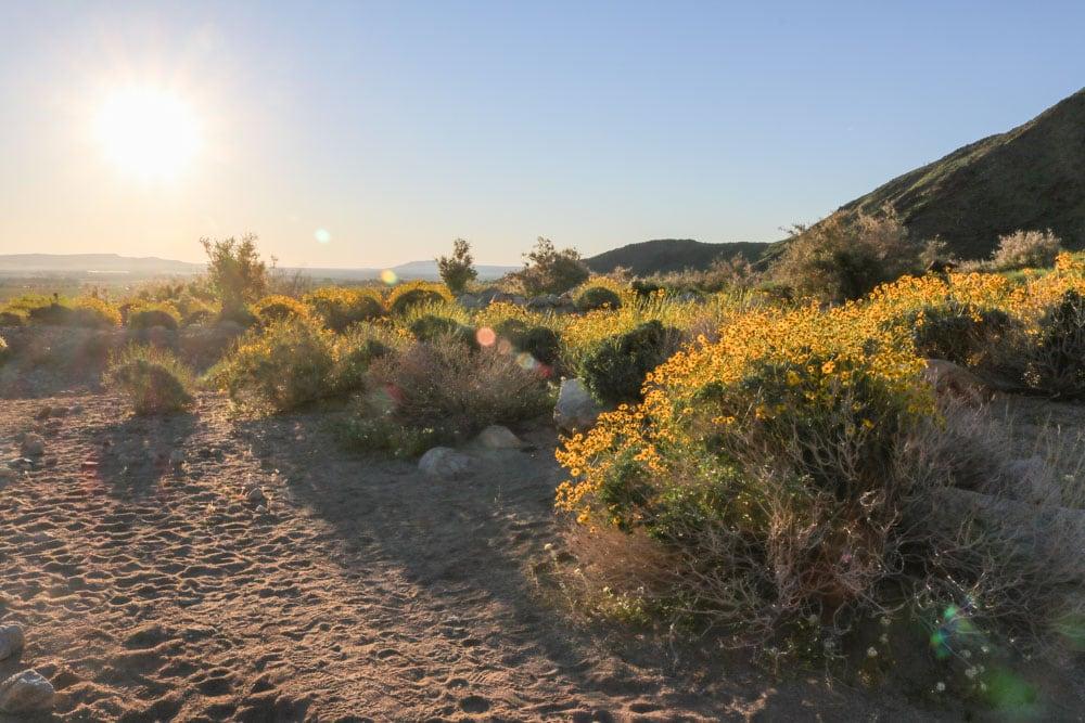 Anza-Borrego Desert Wildflowers Superbloom in Pictures