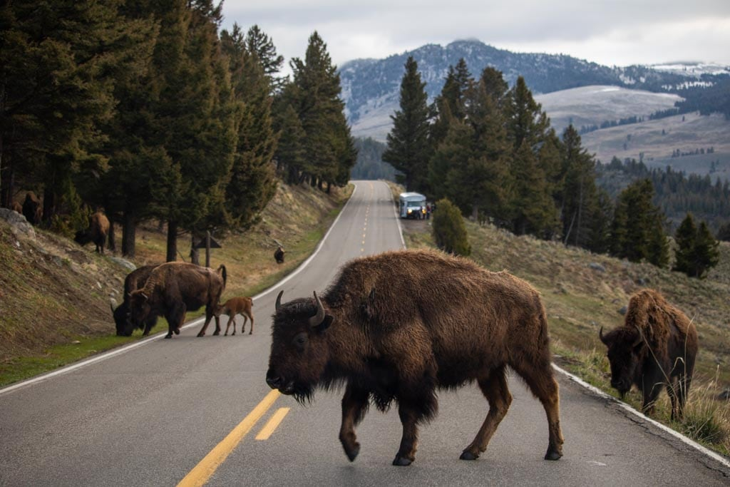 Bison crossing road at Tower-Roosevelt, Yellowstone National Park, a UNESCO World Heritage Site