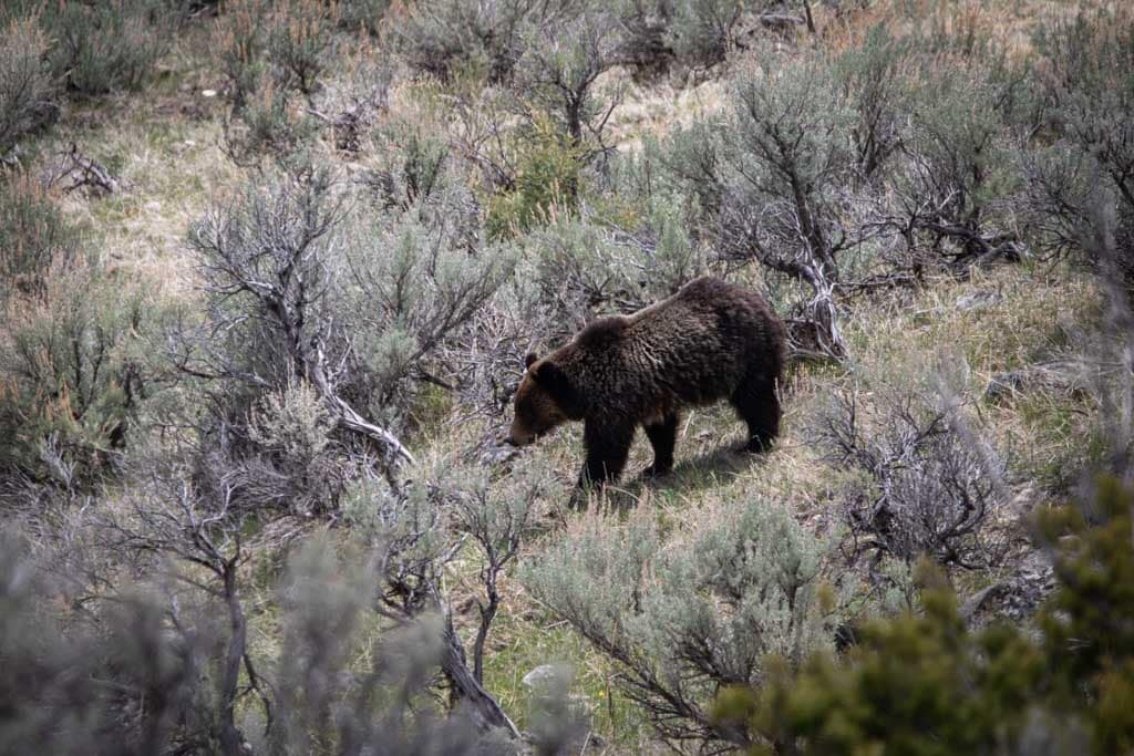 Woman sentenced to jail after getting too close to grizzly bears in Yellowstone National Park
