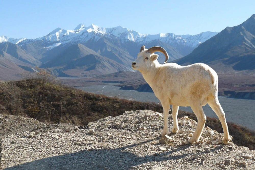 Dall sheep in Wrangell-St. Elias National Park, Alaska - Image credit NPS