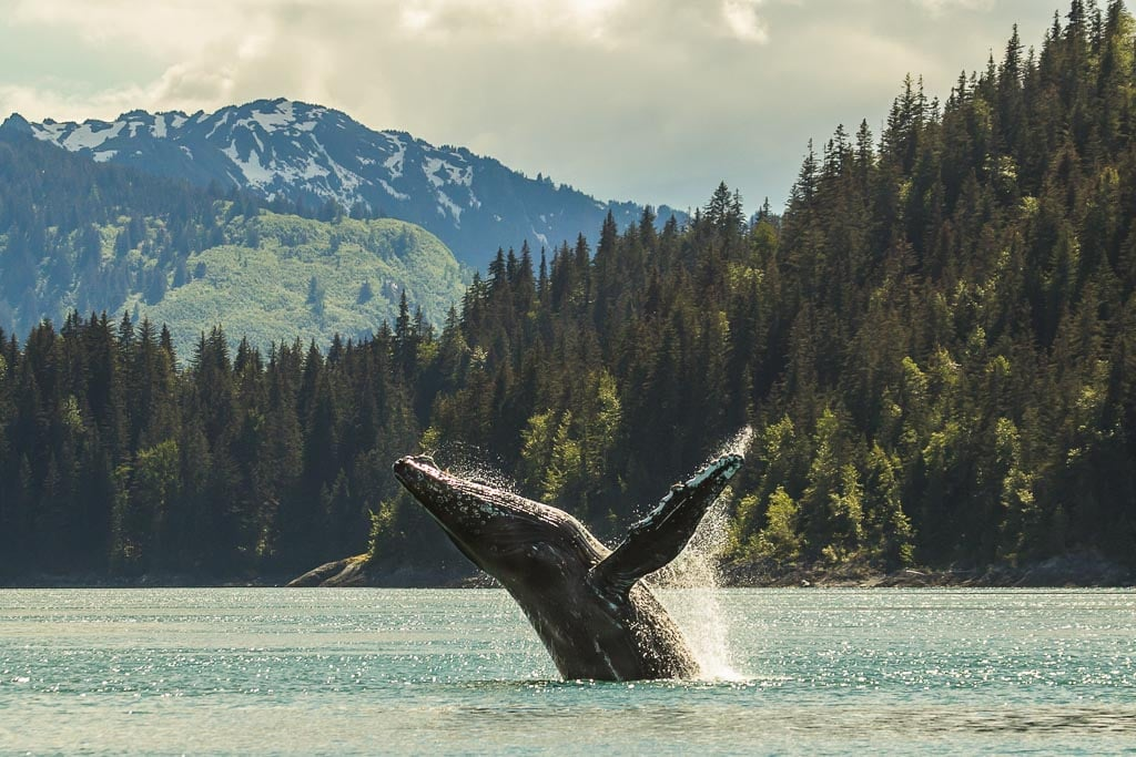 Humpback whale breaching in Glacier Bay National Park - Image credit NPS Sean Neilson