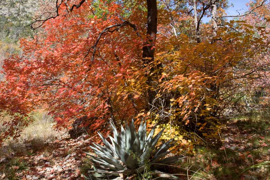 Fall colors in Guadalupe Mountains National Park, Texas - Image credit NPS